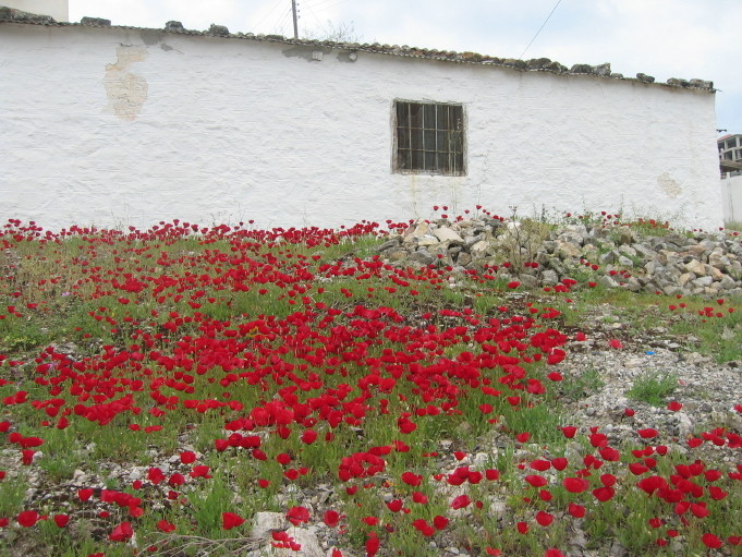 Poppies growing wild in someone's back yard in Spetses
