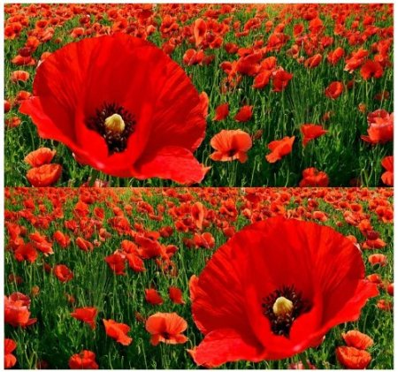 poppies in greece