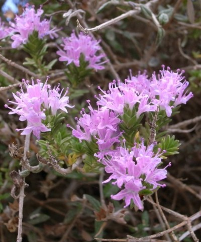 Wild Thyme that blooms for 40 days sometimes less on the wild sea hills of the Cyclades and Crete